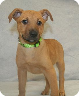 Labrador Retriever/Shepherd (Unknown Type) Mix Dog for adoption in Westminster, Colorado - Maverick