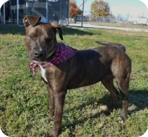 Terrier (Unknown Type, Medium) Mix Dog for adoption in Henderson, Kentucky - Reese Pup