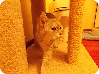 Domestic Shorthair Cat for adoption in Fountain Hills, Arizona - TWIGGY