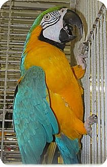 Macaw for adoption in Edgerton, Wisconsin - Paco