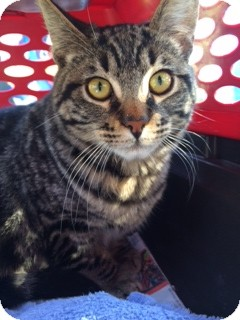 Bengal Cat for adoption in El Cajon, California - JUPITER
