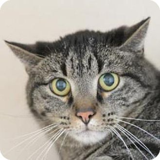 Domestic Shorthair Cat for adoption in Denver, Colorado - Jettson