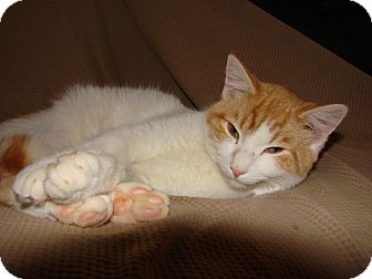 Domestic Shorthair Cat for adoption in Homewood, Alabama - Saint