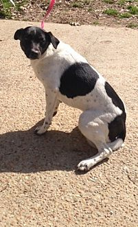 Pointer/Border Collie Mix Dog for adoption in Baton Rouge, Louisiana - Uno