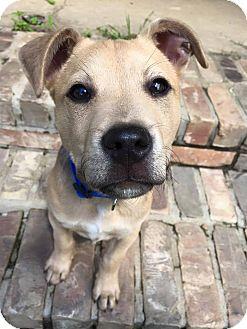 Labrador Retriever Mix Puppy for adoption in St. Francisville, Louisiana - Marcus