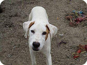 Pointer/Labrador Retriever Mix Puppy for adoption in Liberty Center, Ohio - Charlie