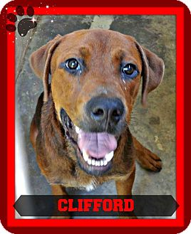 Rottweiler/Labrador Retriever Mix Dog for adoption in Benton, Arkansas - Clifford