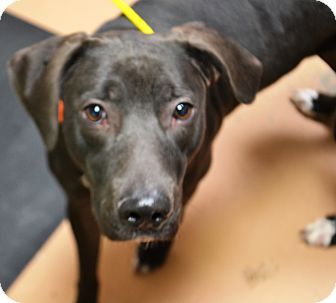 Pit Bull Terrier Mix Dog for adoption in Fruit Heights, Utah - Nellie