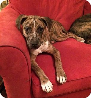 Boxer/Catahoula Leopard Dog Mix Dog for adoption in Knoxville, Tennessee - Sonny Liston
