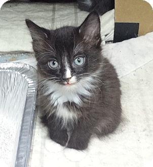 Domestic Shorthair Kitten for adoption in Colton, California - Black Kitty 1