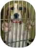 Treeing Walker Coonhound Puppy for adoption in Waldorf, Maryland - Olive Oyl