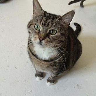 Domestic Shorthair Cat for adoption in Montreal, Quebec - Mama Cass