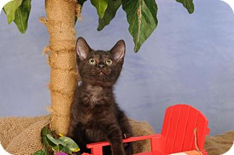 Domestic Shorthair Kitten for adoption in mishawaka, Indiana - M&M