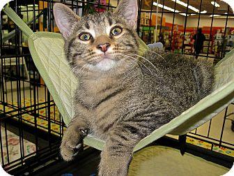 Domestic Shorthair Kitten for adoption in Fort Wayne, Indiana - Elvis