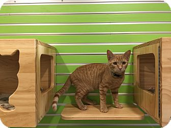 Domestic Shorthair Cat for adoption in Peace Dale, Rhode Island - Cee Cee