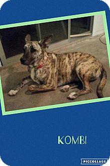 Plott Hound/Shepherd (Unknown Type) Mix Dog for adoption in Scottsdale, Arizona - Kombi