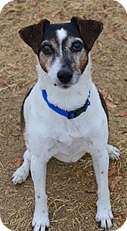 Jack Russell Terrier Dog for adoption in Gardnerville, Nevada - Horace