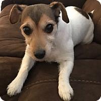 Adopt A Pet :: Miss Jackie in Dallas - Austin, TX