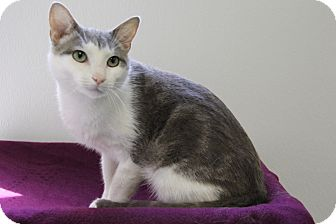 Domestic Shorthair Cat for adoption in Greensboro, North Carolina - Powzer