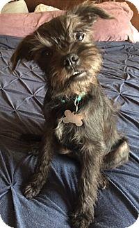 Schnauzer (Miniature)/Border Terrier Mix Puppy for adoption in Phoenix, Arizona - Eiffel