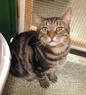 Domestic Shorthair/Domestic Shorthair Mix Cat for adoption in Anderson, Indiana - Larson