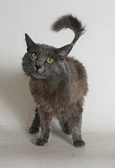 Domestic Mediumhair Cat for adoption in Redding, California - Paco