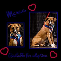 Adopt A Pet :: Marcus - siler city, NC