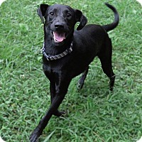 Adopt A Pet :: Daddy Long Legs is Reduced! - Harrisonburg, VA