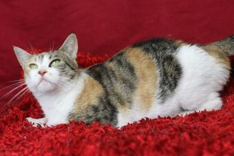 Domestic Shorthair/Domestic Shorthair Mix Cat for adoption in Blackwood, New Jersey - Carrot