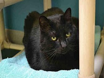 Domestic Mediumhair Cat for adoption in Rancho Cucamonga, California - ZEEK