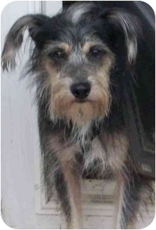 Terrier (Unknown Type, Small) Mix Dog for adoption in Coudersport, Pennsylvania - Scooter
