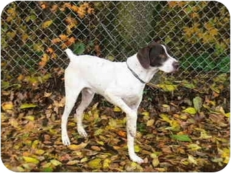 German Shorthaired Pointer Dog for adoption in Kokomo, Indiana - mack