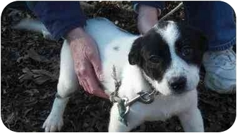 Pointer Mix Puppy for adoption in North Kingstown, Rhode Island - Mollie