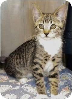 Domestic Shorthair Kitten for adoption in Encinitas, California - Beatrice