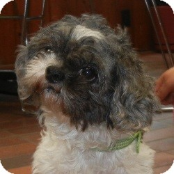 Shih Tzu Mix Dog for adoption in Des Moines, Iowa - Precious