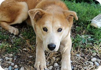 Husky Mix Puppy for adoption in Buffalo, New York - Tuffy: 6 months