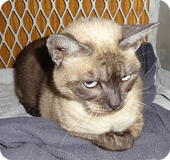 Siamese Cat for adoption in N. Billerica, Massachusetts - Babs