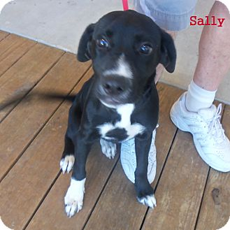 Labrador Retriever/Boxer Mix Puppy for adoption in Slidell, Louisiana - Sally