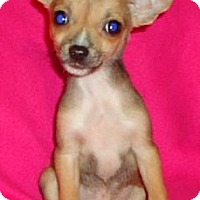 Adopt A Pet :: Danny Boy - Allentown, PA