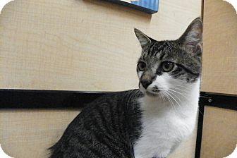Domestic Shorthair Cat for adoption in Riverside, California - Shadowfax
