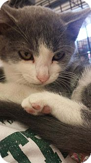 Domestic Shorthair Kitten for adoption in Tracy, California - Franky