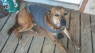 American Staffordshire Terrier/Mastiff Mix Dog for adoption in Tuttle, Oklahoma - Bogie