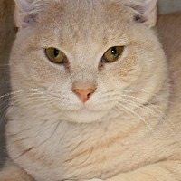 Domestic Shorthair Cat for adoption in Savannah, Missouri - Picasso