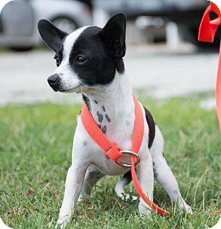 Chihuahua Mix Puppy for adoption in Seneca, South Carolina - Shenzi $250