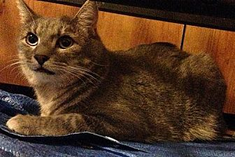 Domestic Shorthair Cat for adoption in Baton Rouge, Louisiana - Corky