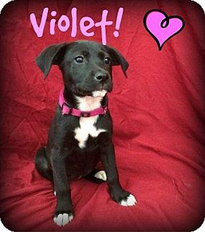 Labrador Retriever/Shepherd (Unknown Type) Mix Puppy for adoption in Bryan, Texas - Violet