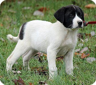 St. Bernard/Great Pyrenees Mix Puppy for adoption in Brattleboro, Vermont - Lasse