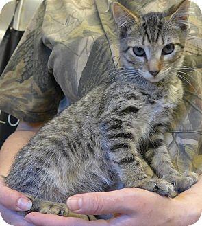 Domestic Shorthair Kitten for adoption in Manning, South Carolina - Jake