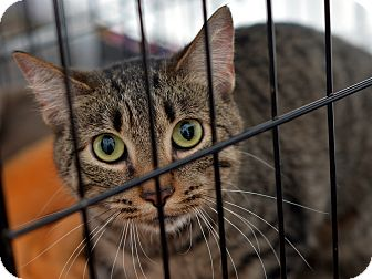 American Shorthair Cat for adoption in Brooklyn, New York - Peggy