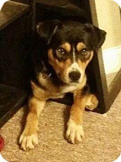 Hound (Unknown Type)/Husky Mix Dog for adoption in London, Ontario - Kody